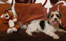 jorkšírský terier biewr