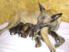 Belgický ovčák malinois - štěňata s PP