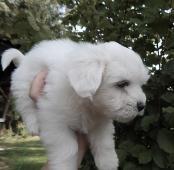 Maltézáček- štěně
