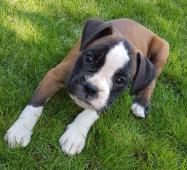Nemecký boxer, psíky, krátky  chvostík