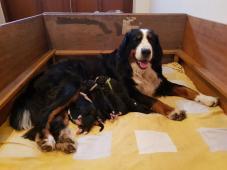 Bernský Salašnický pes s PP