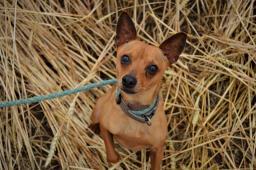 ÁDIK - Srnčí pinč - pes 2 roky