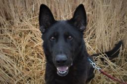 REX - Německý ovčák - pes