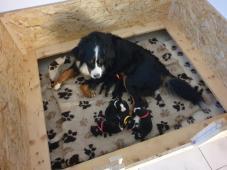 Prodáme štěňata Bernského salašnického psa