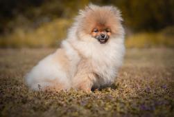 Pomeranian s PP - pejsek