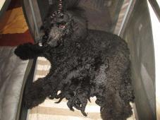 Prodám štěnátka pudla královského barvy černé .Nar