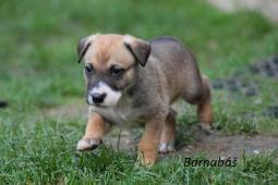 BARNABÁŠ a BASTIEN- štěně, pes 8 týdnů.