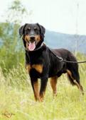 RONY - Dobrman x kříženec - pes 1 rok.