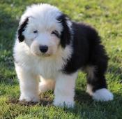Bobtail štěně