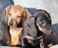Jezevčík krátkosrstý trpasličí -štěně