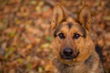 ARES - Německý ovčák - pes