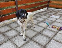 Ohař Auvergneský krátkosrstý - štěně půlroční s PP