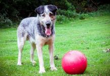 WOLF - Honácký pes x - pes