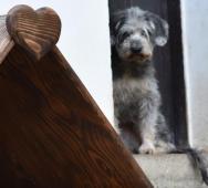 HAPPY - Knírač x Pudl 15 kg - fena 2-4 roky.