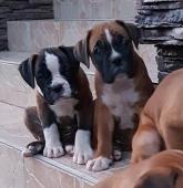 Boxer nemecký - šteniatka, krátky chvost
