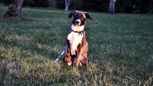 Dag k adopci (4 měsíce, cca 25 kilo dospělý)