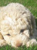Lagotto Romagnolo s PP ( italský vodní pes)