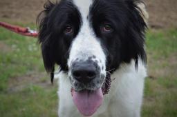 OMAR - Středoasijský pastevecký pes x - 2 roky