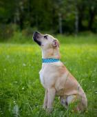 BARNIE - Stafordšírský teriér - pes 1 rok