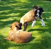 Boxer, šteniatka, krátky chvost