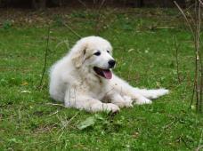 Pyrenejský horský pes štěňata s PP
