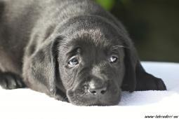 Černý pejsek Labrador Retriever s PP