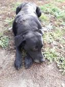 BODY - Labradorský retrívr - pes