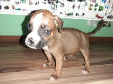 Predáme šteniatka nemeckého boxera
