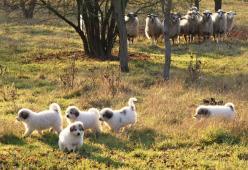Pyrenejský horský pes chlupáči