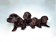 Labradorský retrívr - štenata s PP