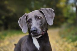 DASTY - Výmarský ohař x - kastrovaný pes 4 roky