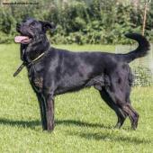 SALLY  - Labrador x Ovčák - pes 5 let