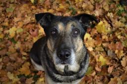 GANGSTER - Německý ovčák - pes