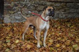 BRUNO - Boxer - pes 3 roky