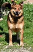 LEONARDO - Ovčák x Kolie 20 kg - kastrovaný 5 let