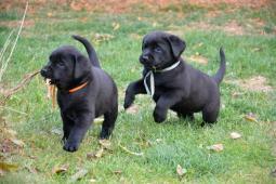Černá a čokoládová štěňátka labradorů s PP-zahrani