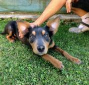 LINDA - kříženec - štěně, fena 7 měsíců.