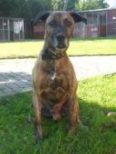 CIML - Kříženec žíhaný - pes
