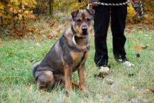 LEON - Šarpej x NO - kastrovaný pes, 10 let