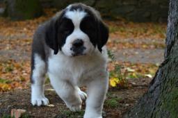 Svatobernardský pes (Bernardýn ) s PP