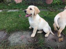 Labrador s Preukazom pôvodu