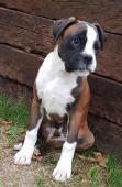 Nemecký boxer, psík, krátky  chvostík