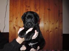 Černí pejsci labradora s PP