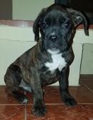 Nemecký boxer, tmavý psík, krátky  chvostík
