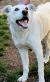 LEA - Ovčák x Labrador- kastrovaná fena 1 rok.
