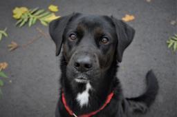 SAM - Labradorský retrívr x - pes 2 roky