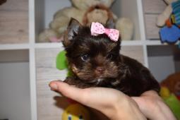 Mini Čokoládový Jorkšírský terier s PP