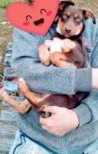 HEDVIKA - kříženec - štěně, fena 5 měsíců.