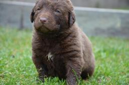 Chesapeake bay retriever - štěňátka s PP