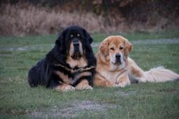 Tibetská doga - štěňátka
